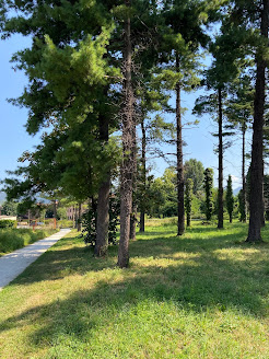 Summer - A grove of pines with ivy removed in Almè.