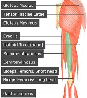 Anatomi semitendinosus pada tubuh manusia, bahasan anatomi origo semitendinosus, insersi semitendinosus, aksi, persarafan, dan arteri dari otot semitandinosus.