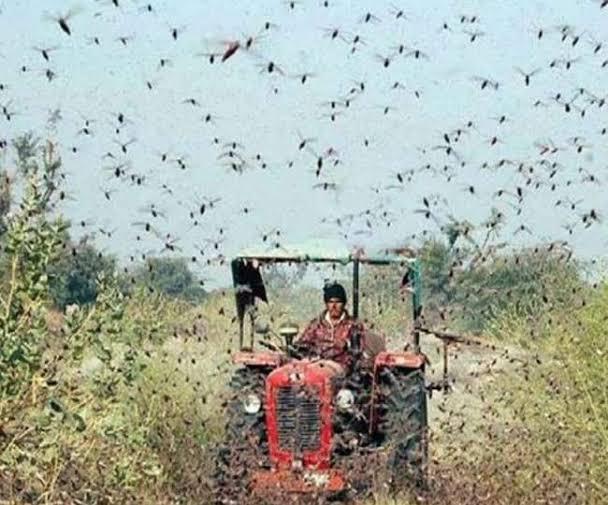 मध्यप्रदेश में जहां-जहां टिड्डी दल के हमले से फसलों को नुकसान हुआ है सर्वे के बाद किसानों को मुआवजा देगी सरकार