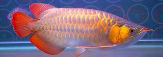 Ikan Arwana Super Red Klasik