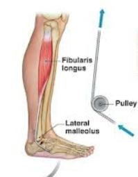 What is Anatomical pulley? Example of Anatomical pulley