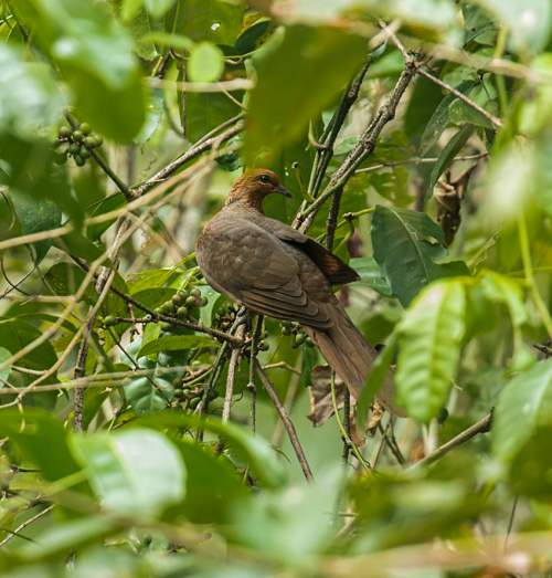Birds of India - Photo of Andaman cuckoo-dove - Macropygia rufipennis