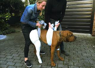 tratamento ligamento cruzado em cães