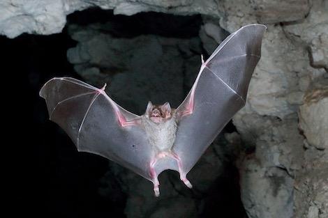 هذه أسرار نجاة الخفافيش من الفيروسات القاتلة