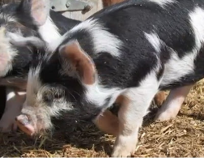 Idaho Pasture Pig Facts, Weight, Meat Quality, Litter Size