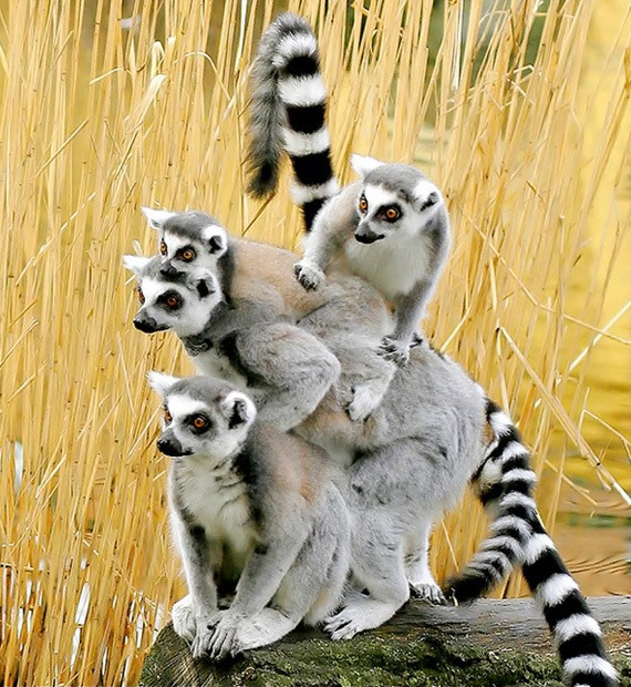 Funny image of a group of lemurs.