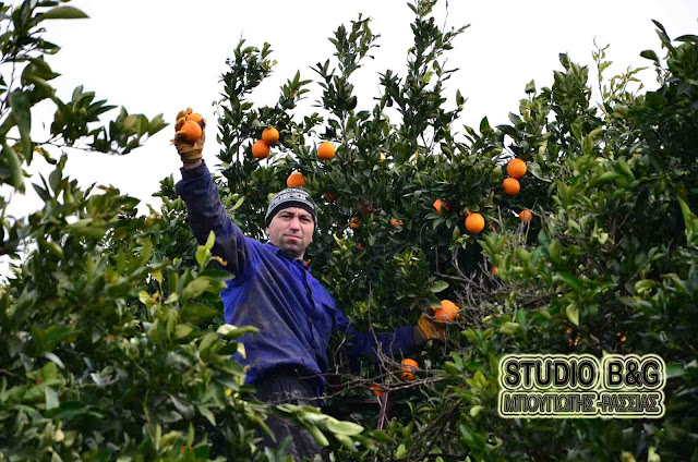 Πορτοκάλια: Με καλή απορρόφηση συνεχίζεται η συγκομιδή στην Αργολίδα
