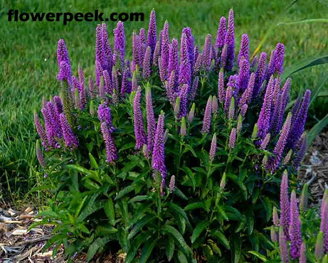 Tips on how to grow Speedwell plant