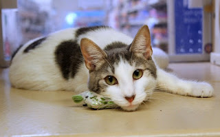 बिल्ली की जानकारी हिंदी मे ▷ some facts about cat in hindi