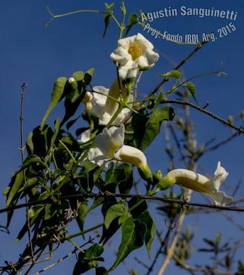 Peine de mono (Amphilophium carolinae)