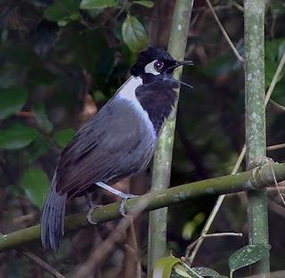 Suara Burung Poksay Vietnam