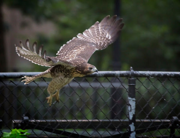 Tompkins Square red-tail fledgling 04