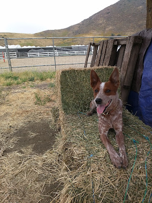 Australian cattle dog sitting on hay bale