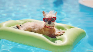 Perros en la piscina: ¿Buena o mala idea?