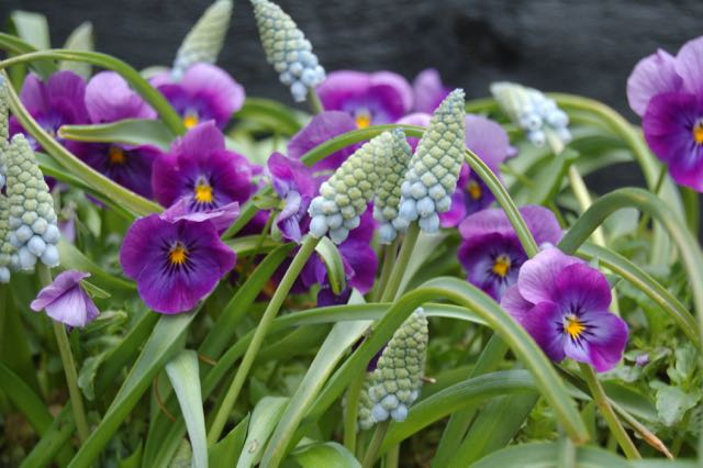 spring garden, pansy and muscari