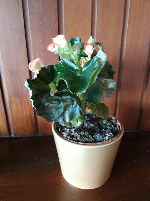 A photo of a non-stop flowering Begonia plant