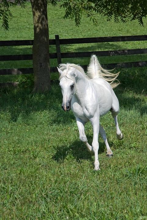 HD Animals Wallpapers: White Arabian Horse