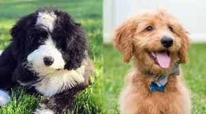 Bernedoodle-vs-Goldendoodle-Training