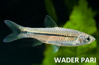 ikan wader pari