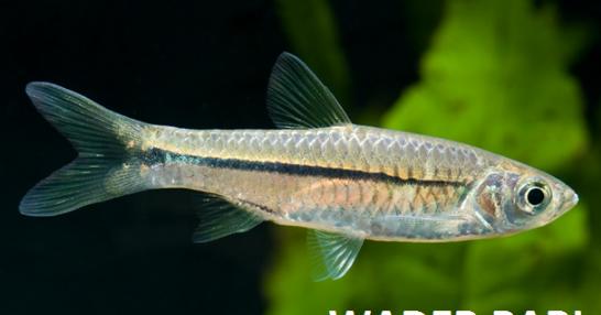 Unduh 95+ Gambar Ikan Wader Pari Terbaik Gratis