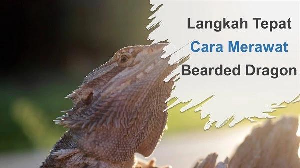 Langkah Tepat Cara Merawat Bearded Dragon