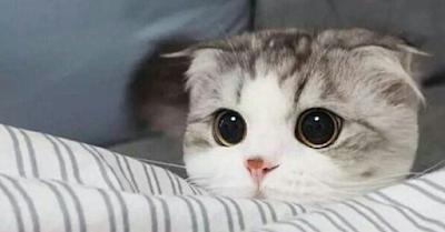 Harga Kucing Scottish Fold Terbaru Tahun 2020