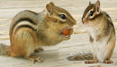 chipmunk, chipmunk animal