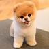 """Pomeranian el perro """"toy"""": Características, temperamento, problemas genéticos y curiosidades"""