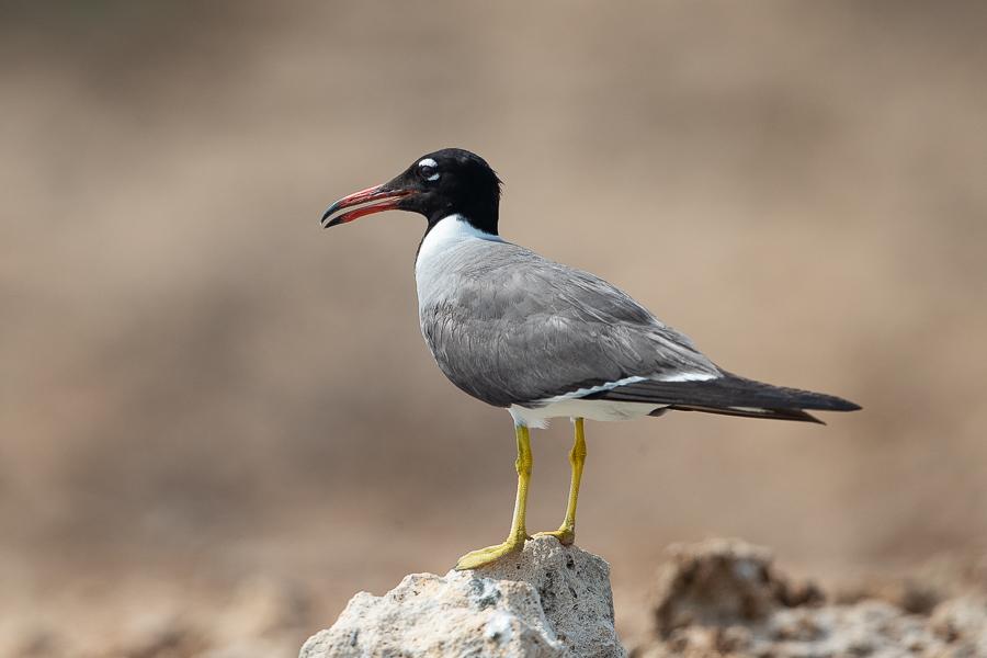 White-eyed Gull