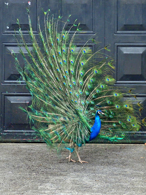 A peacock strutting about