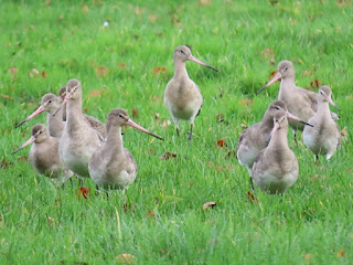 Black-tailed Godwit, Upton Country Park © Clinton Whale.