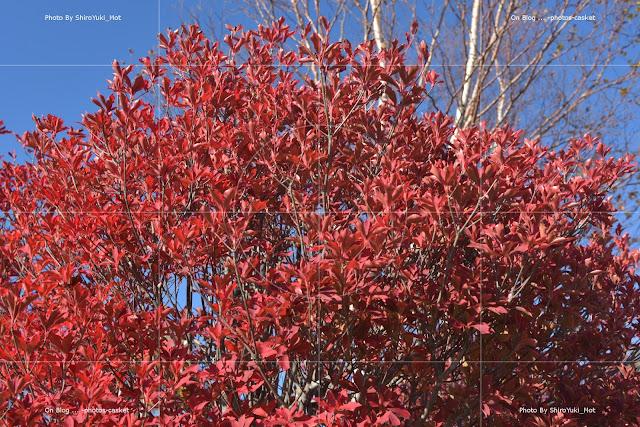 紅葉 灯台躑躅 ドウダンツツジ Blue Red Red Garland