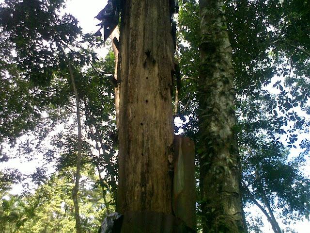 Hasil gambar untuk pohon gaharu