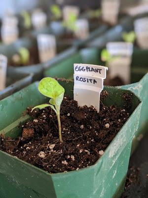 Young epplant