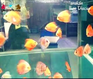Pembesaran Anakan Ikan Discus