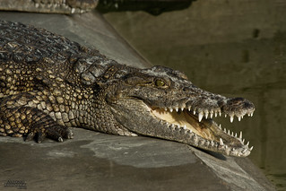 South Carolina woman is killed by an alligator after encountering the reptile near a small pond