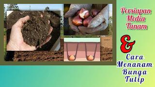 Cara menanam dan merawat bunga tulip