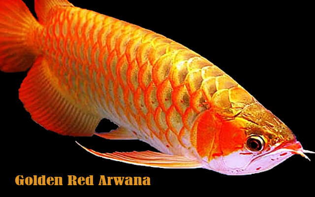 ikan arwana golden red blog mbah dinan