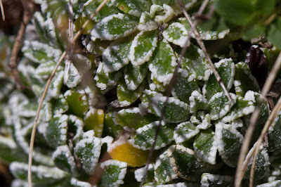Salt encrustations on Saxifrage leaves.
