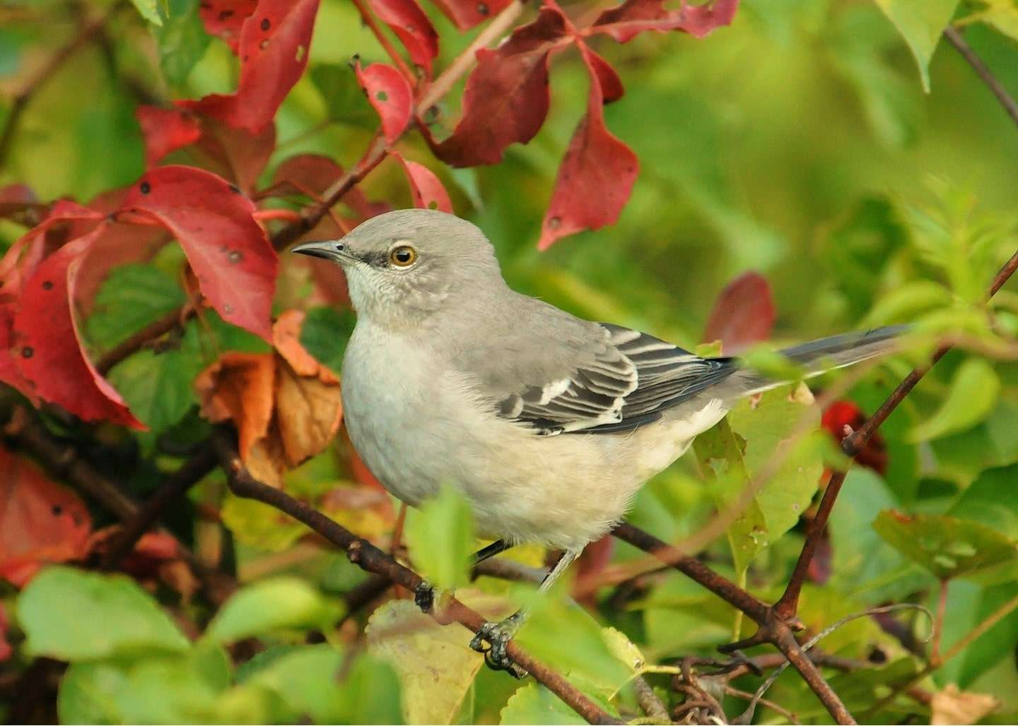 Interesting Facts about Mockingbirds, Mynas and Parrots