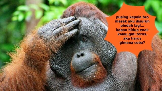 Orangutan Kalimantan