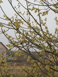 верба цветет