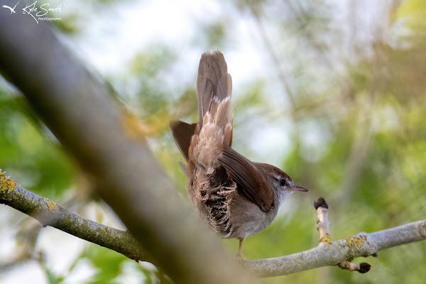 Cetti's warbler
