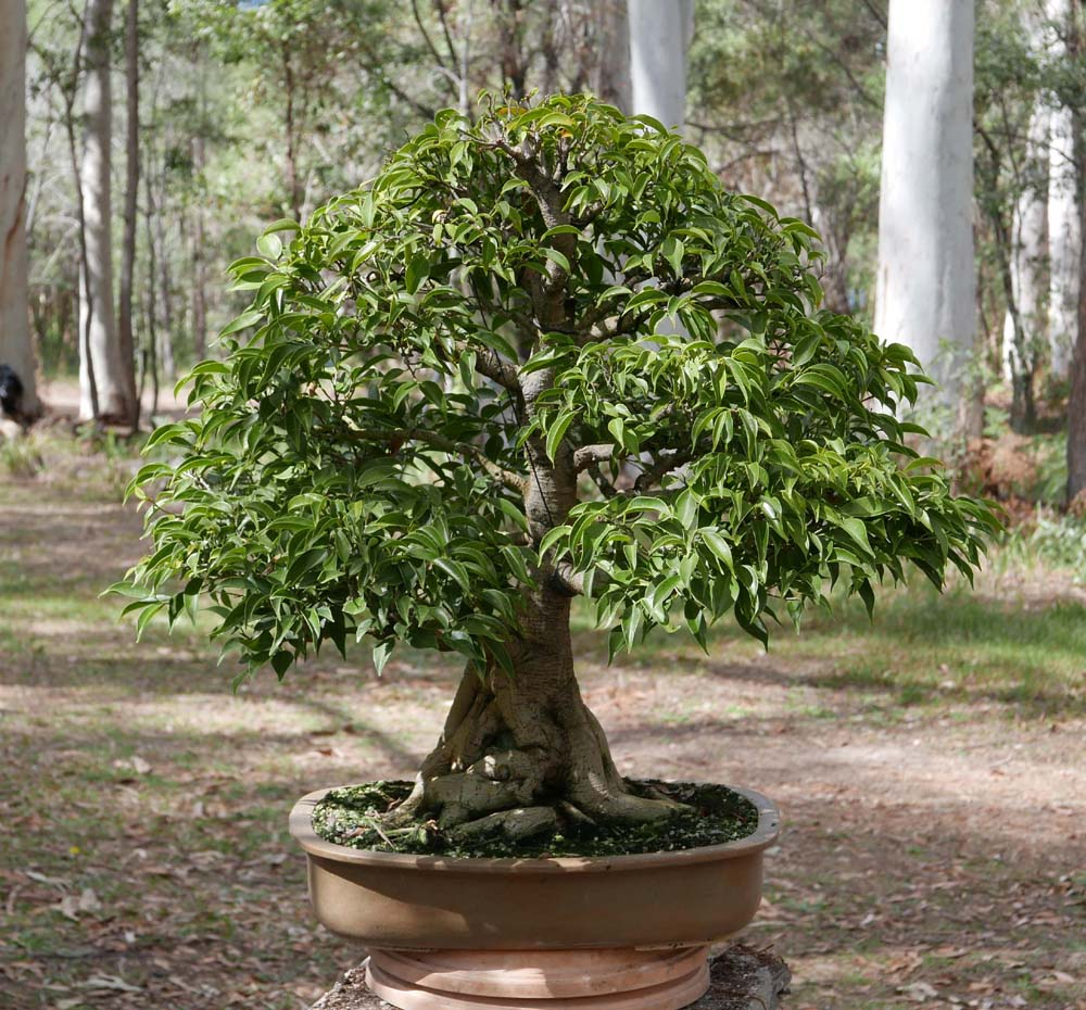 Bonsai Amp Pottery Post 219 Large Ficus Root Pruning