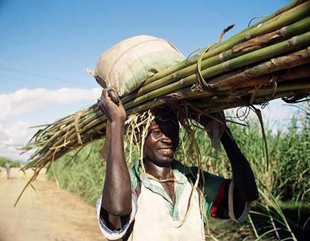 Sugarcane harvesting in Africa