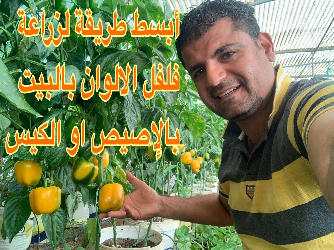 زراعة الفلفل الحلو الملون في اصيص او سطل