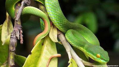 gambar ular bangkai laut