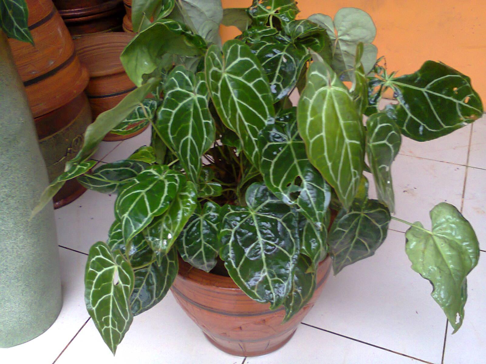 tanaman berdaun lebar anthurium kuping gajah untuk dekorasi exclusive plant