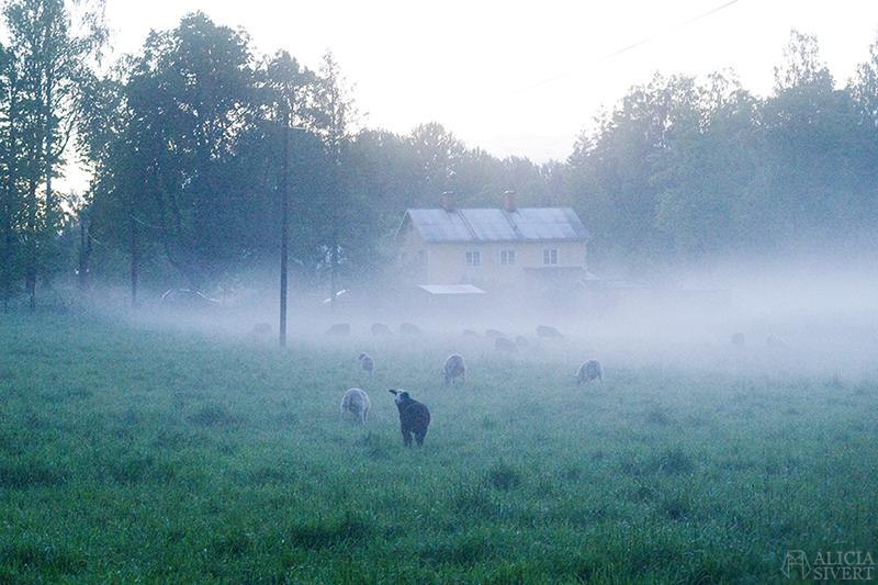 uttersberg dimma fog dusk skymning sommarkväll sommarnatt kväll äng gräs grass dagg får sheep lamm