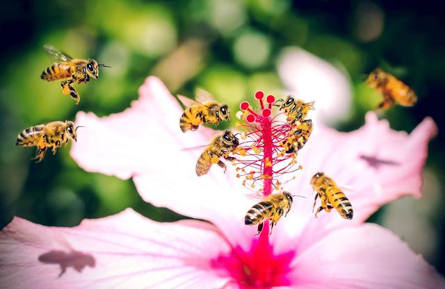 ABEJAS EN FLOR DE ROSA DE SIRIA - BEES IN FLOWER ROSE SYRIA.